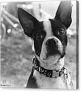 Boomer Boston Terrier Acrylic Print