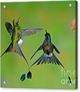 Booted Racket-tail Hummingbird Males Acrylic Print