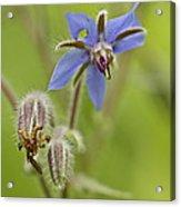 Borage Wildflower - Borage Officinalis - Annual Herb Acrylic Print