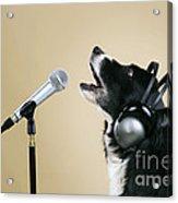 Border Collie Dog Singing Acrylic Print