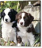 Border Collie Dog, Two Puppies Acrylic Print
