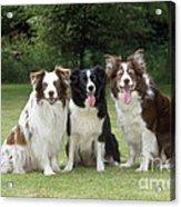 Border Collie Dogs Acrylic Print