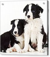 Border Collie Dogs, Two Puppies Acrylic Print
