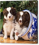 Border Collie Puppies In Plant Pot Acrylic Print