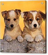 Border Collie Puppies Acrylic Print
