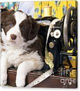 Border Collie Puppy With Sewing Machine Acrylic Print