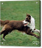 Border Collie Running Acrylic Print