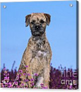 Border Terrier Dog, In Heather Acrylic Print