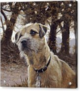 Border Terrier In The Woods Acrylic Print