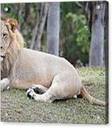Bored Lion Acrylic Print