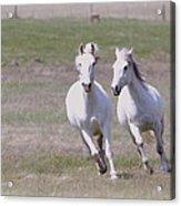 Lipizzaner Stallions Acrylic Print