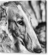 Borzoi Dog Portrait Acrylic Print by Christian Lagereek