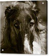 Borzoi Hound Portrait Acrylic Print by Christian Lagereek