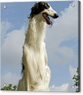 Borzoi Or Russian Wolfhound Acrylic Print