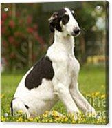 Borzoi Puppy Acrylic Print