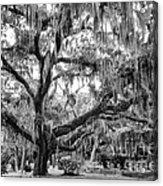 Bosque Bello Oak Acrylic Print