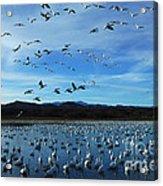 Bosque Del Apache Flight Line Acrylic Print