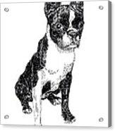 Boston Bull Terrier Acrylic Print