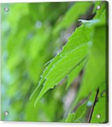 Boston Ivy Bokeh Acrylic Print