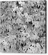 Boston Ivy In Monochrome Acrylic Print