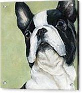 Boston Terrier Acrylic Print