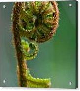 Botanica Series - Unfurling Fern Acrylic Print