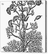 Botany: Giant Fennel, 1597 Acrylic Print
