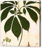 Botany: Ginseng Acrylic Print
