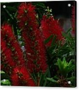 Bottle Brush Acrylic Print