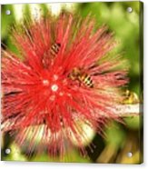 Powder Puff Flower With Bees Acrylic Print