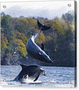 Bottleneck Dolphin Playing Acrylic Print