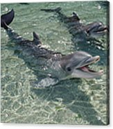 Bottlenose Dolphin In Shallow Lagoon Acrylic Print