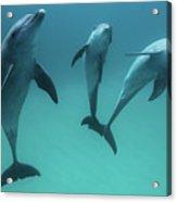 Bottlenose Dolphins Acrylic Print
