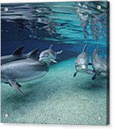 Bottlenose Dolphins In Shallow Water Acrylic Print