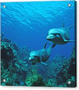 Bottlenose Dolphins Over Reef Acrylic Print
