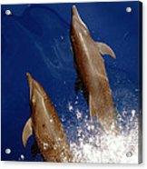 Bottlenose Dolphins Tursiops Truncatus Acrylic Print