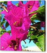 Bougainvillea Beauty Acrylic Print