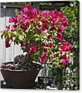 Bougainvillea Bonsai Tree Acrylic Print