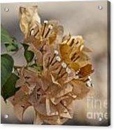 Bougainvillea Flowers  Acrylic Print