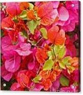 Bougainvillea Multi-colored Flowers Acrylic Print