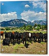 Boulder Beef Acrylic Print