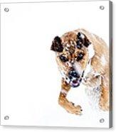 Bounding In Snow Acrylic Print by Thomas R Fletcher