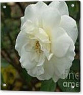 Bountiful White Rose... Acrylic Print