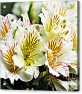 Bouquet Of Alstroemeria Acrylic Print