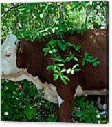 Bovine In The Shade Acrylic Print