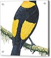 Bowerbird  Acrylic Print
