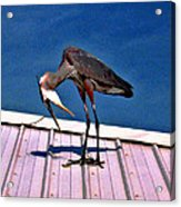 Bowing Blue Heron Acrylic Print