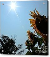 Bowing To The Sun Acrylic Print