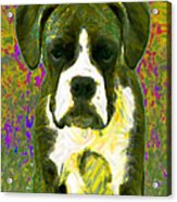 Boxer 20130126v2 Acrylic Print by Wingsdomain Art and Photography