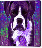 Boxer 20130126v6 Acrylic Print by Wingsdomain Art and Photography